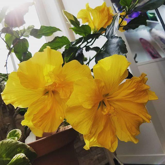 今週も元気に営業中ハイビスカスも咲き乱れてます#美容室 #コロナに負けるな #営業中 # #お待ちしてます